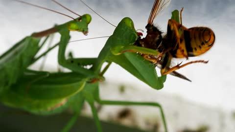 Praying Mantis Eating a Wasp While Being Shagged