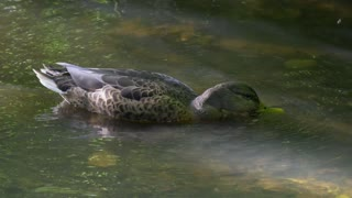 Female Hot Duck Enjoys Water