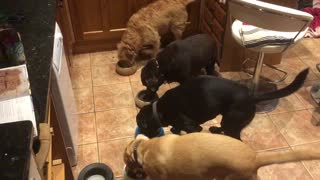 Four dogs eat in perfect synchronization