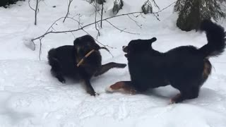 Two large black dogs fight over stick in snow
