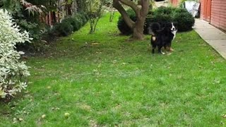 Bernese Mountain Dog waiting for his human to throw the ball
