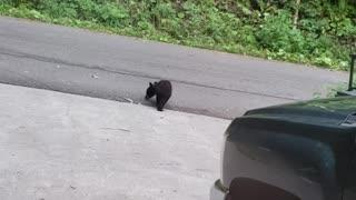 Bear Cubs Battle for Fun