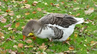 Female Duck Picking Some Worms Between Leafs