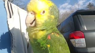 Watch this bird sing opera music like a pro