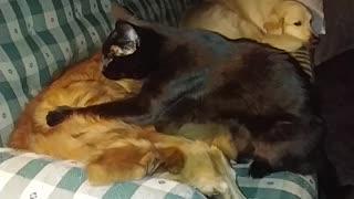 Golden Retriever receives expert massage from cat