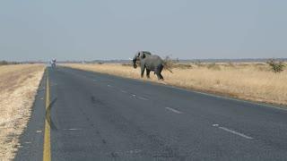 an elephant crosses the street
