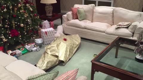 dog unwraps owner for christmas - dog unwraps owner for christmas