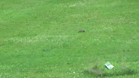 Family of Groundhogs invading my property