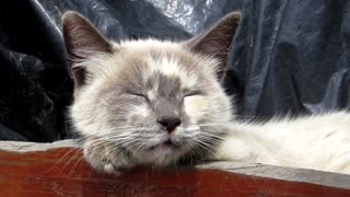 Watch how the lovely English cat Lulu sleeps at home