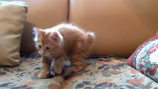 Little Kitten Playing His Toy Mouse!