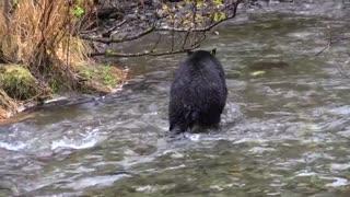 Black bear black