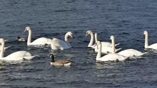 Swan Duck water