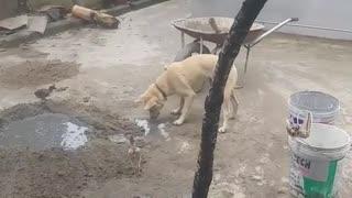 pet dog is a builder