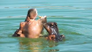 Animal Hippopotamus in Lake Water