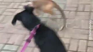 Capuchin Monkey Teasing & Playing with Dog