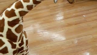 Toddler meets giraffe