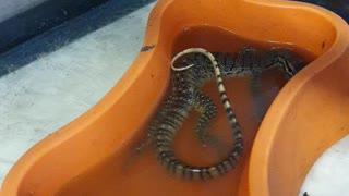 As happy as a lizard in poopie water?