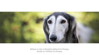 Kort om greyhound