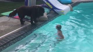 Huge Newfoundland accidentally slides into pool