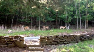 Whole herd of deer relaxing after being fed