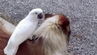 Cocky and dog friendship