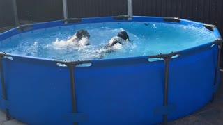 Springer Spaniels Enjoy Splashing Around the Pool