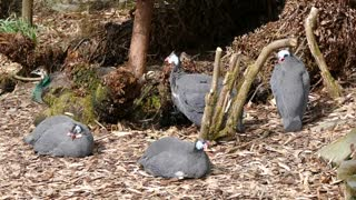 Guinea fowl are beautiful birds, aren't they