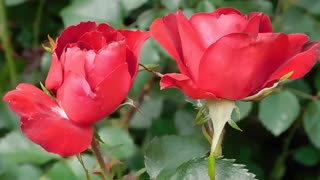 Beautiful Roses With Relaxing Music