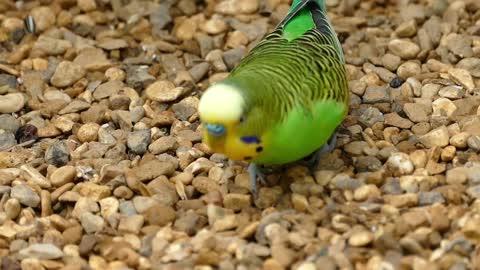 Green Parrot birds