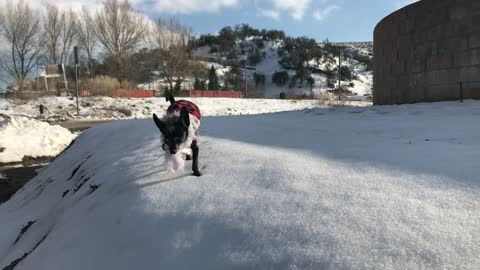 Kobe the chihuahuas plays in the snow