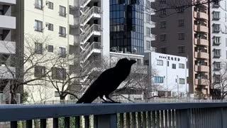 Crow talks back