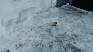 A beautiful pigeon is enjoying the blizzard.