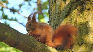 squirrel eating something...