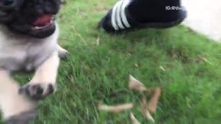 Small pug running around