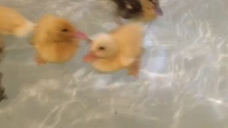 Ducklings taking a bath