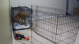 Golden retriever escape