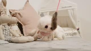 Bichon Frise cute puppy videos. Teacup puppies