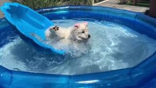 Samoyed takes a tumble into the pool