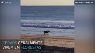 Cervo é filmado relaxando na praia