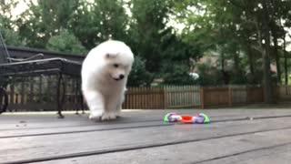 Samoyed Puppy Having Fun