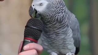 Parrot Gray fanny momments