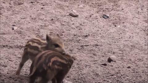 Little Pigs Spanish wrestling On Dig