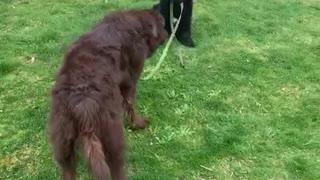 Playful puppy walks bigger dog on a leash