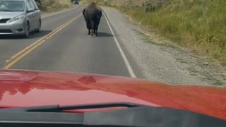 Cranky Bison Postures at Passing Cars