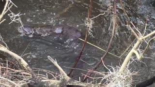 Waccamaw River Otters