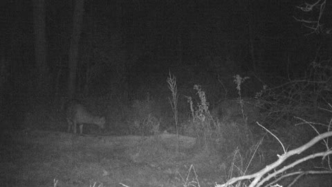 Small Buck Following Doe