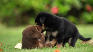 puppies dogs playing