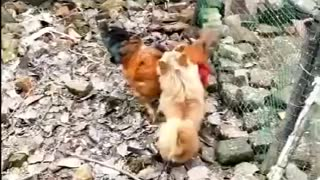 Very Funny Dog Fight Videos Dogs Versus Chickens