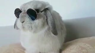 A Rabbit wears Glasses At Home.