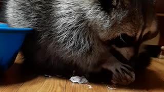 Raccoon hard at work peeling garlic